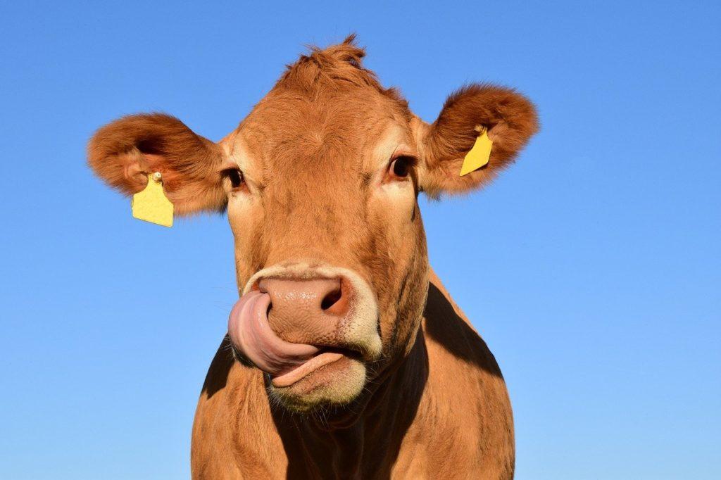 prenom vache